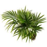 Bladeren Kentia palm