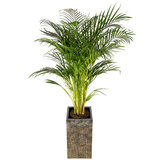 Luxe Square Brons met Areca palm