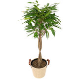 Mand Jacky Sand met Ficus