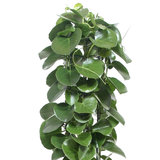 Bladeren Cissus Rotundifolia