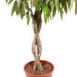 Gevlochten stam Ficus