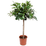 Ficus Cyathistipula 140 cm