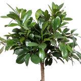 Bladeren Ficus Cyathistipula 140 cm