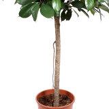Stam Ficus Cyathistipula