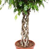 Gevlochten stam Ficus Exotica