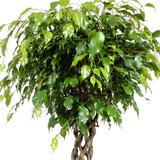 Bladeren Ficus Exotica 130 cm