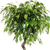 Blad Ficus Exotica