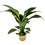 Spathiphyllum Sensation in pot