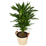 Dracaena Janet Lind in mand