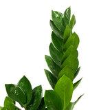 Zamioculcas Zamiifolia stengels
