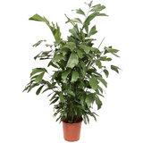 Caryota Mitis 130 cm (Vissenstaartpalm)