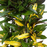 Bladeren Croton Mango