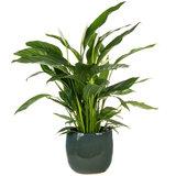 Spathiphyllum kamerplant in pot
