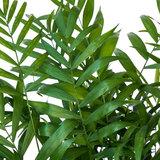 Chamaedorea Elegans blad