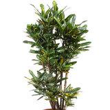 Croton bladeren