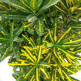 Croton Yellow Banana blad