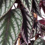 Cissus Discolor bladeren