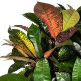 Bladeren Croton Iceton