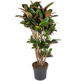 Croton Iceton 130 cm