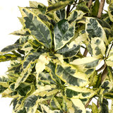 Bladeren Croton Tamara