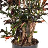 Croton Mammi vertakt detail