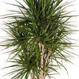 Bladeren Marginata kamerplant