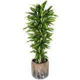 Dracaena Cintho in luxe pot