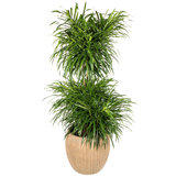 Dracaena Anita in luxe pot
