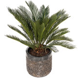 Cycas Revoluta in luxe pot