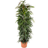 Ficus Alii King zuil 150 cm