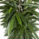 Ficus Alii King blad
