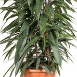 Ficus Alii King zuil