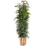 Ficus Alii King in luxe pot
