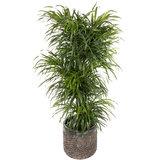 Grote kamerplant in pot