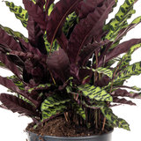 Calathea Lancifolia Ritselplant