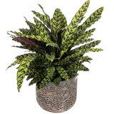 Calathea Lancifolia in luxe plantenbak