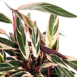 Calathea Stromanthe Triostar blad