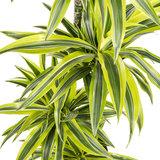 Dracaena Lemon Lime blad