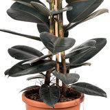Ficus Elastica Abidjan detail