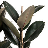 Ficus Elastica Abidjan blad