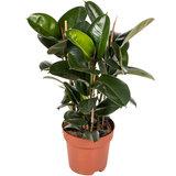 Ficus Elastica Robusta 100 cm