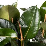 Ficus Elastica Robusta bladeren