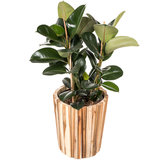 Ficus Elastica Robusta in luxe pot