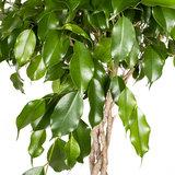 Ficus Exotica blad