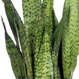 Sansevieria Zeylanica groen blad