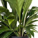 Anthurium Jungle Bush detail