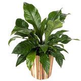 Anthurium Jungle Bush kamerplant