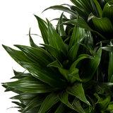 Dracaena Compacta groen