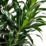 Dracaena Reflexa blad