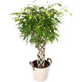 Ficus Exotica in mand